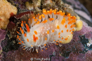 Limacia cockerelli